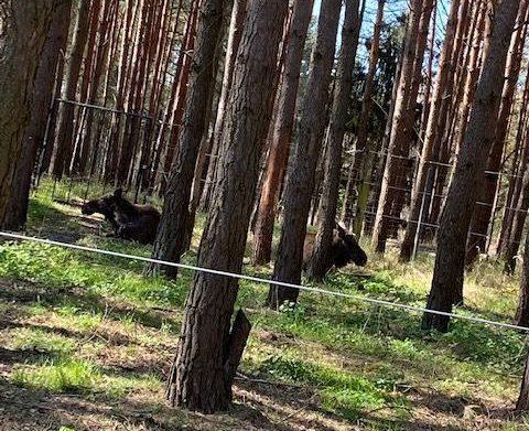 Wildpark Schorfheide - die Elche