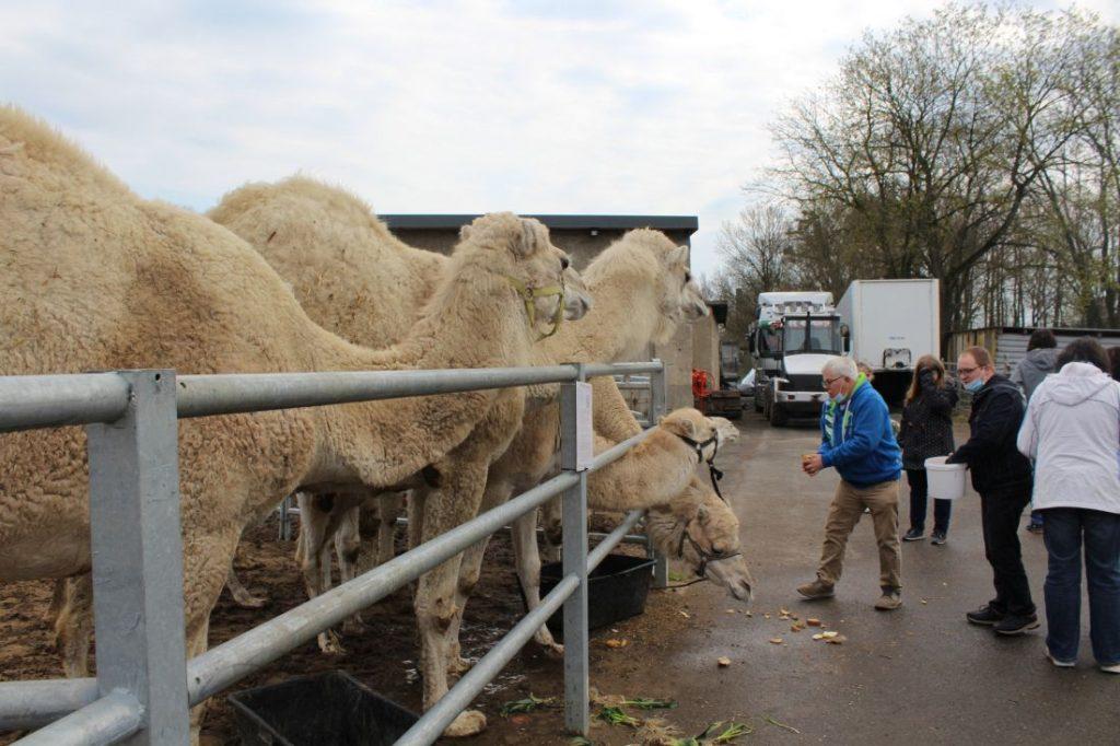 Fütterung von arabischen Kamelen